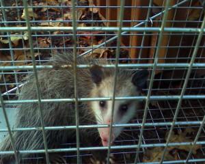 Possum in a trap